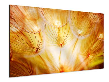 Aluminium Print Close Up Dandelion In Light