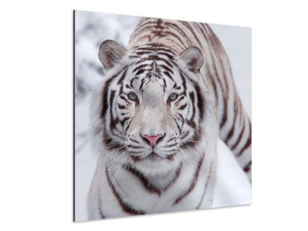 Aluminium Print The King Tiger