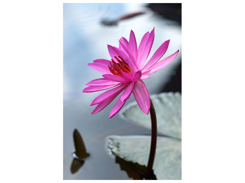 Canvas Print Big Lotus In Pink